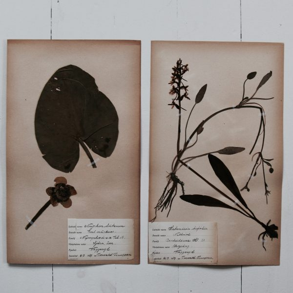 Pair of vintage botanical pressed flowers - Lesser Butterfly-Orchid and Yellow Water-lily
