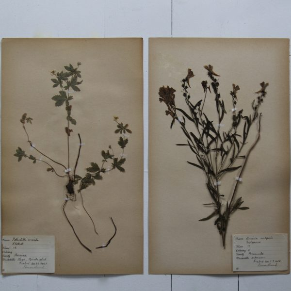 Pair of vintage botanical pressed flowers - Potentilla and yellow toadflax