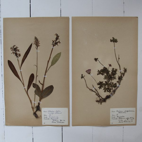 Pair of vintage botanical pressed flowers - Orchid and Geranium