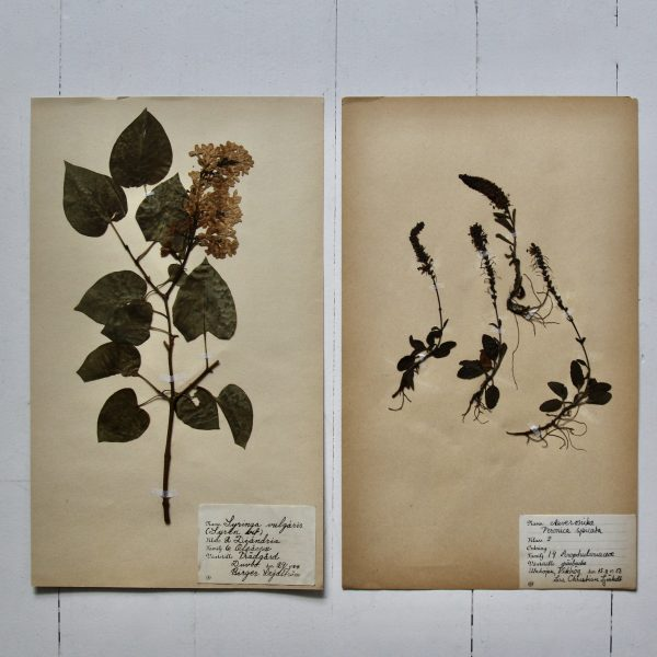 Pair of vintage botanical pressed flowers - Common lilac and Veronica Spicata